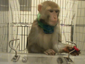 One of Davidson's rhesus monkeys retrieves a sweet treat in a test of fine motor coordination. The monkey's collar records all its movements.