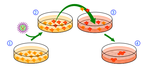 Overview of the process of making IPSC cells from skin cells.  1) Skin cells are grown in a dish and treated (2) with genes necessary to change them into stem cells.  (3) A subset of treated cells will receive the message to become induced pluripotent stem cells (4).