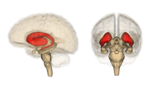 The striatum, here shown in red, is the region of the brain that degenerates most quickly in HD mutation carriers.  The cortex, source of the other type of cells studied by Finkbeiner's group, is the wrinkly outer part of the brain.