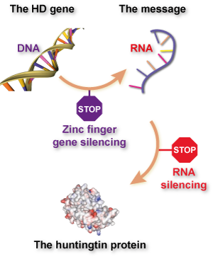 The difference between zinc finger and 'traditional' RNA-targeted gene silencing, explained. Zinc fingers prevent RNA being made by sticking to DNA, while silencing techniques like RNA interference (RNAi) or anti-sense oligonucleotides (ASOs) prevent protein being made by sticking to RNA.