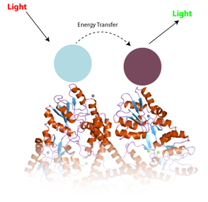 The principle of TR-FRET.  Two different antibodies (blue and purple), stuck to a protein like huntingtin interact to change the properties of light in a way that we can measure.