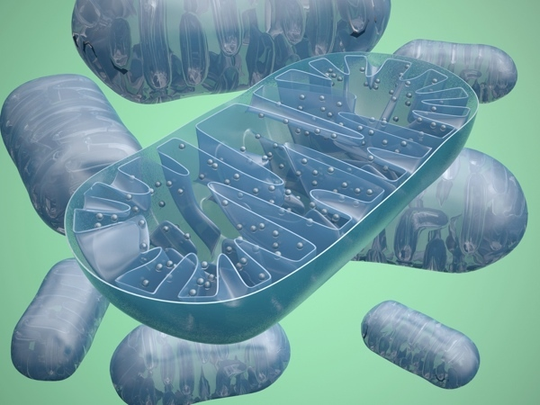 One of the major jobs of PPAR-delta is to help regulate mitochondria, the powerhouses of the cell