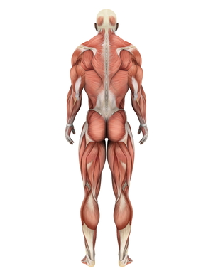 The muscles of the body are comprised fibers, which might be extra excitable in HD.  Could this help contribute to movement symptoms?