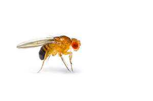 This research was conducted in fruit flies. They're easy to manipulate genetically but can't tell us directly about human Huntington's disease