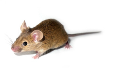 A mouse study showed that different doses of memantine have different effects.