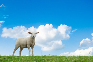 Genetically modified sheep with a mutant HD gene may prove very useful in getting treatments from the lab into human patients