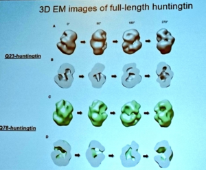 Ihn Sik Seong showed these fascinating images of the rough shape of the normal and mutant huntingtin protein – the cause of HD