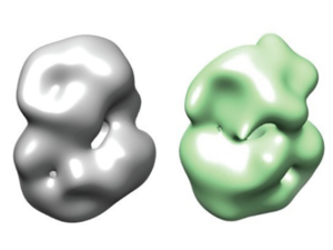 These images from the research paper show the 'normal' huntingtin protein (left) and the subtle differences in structure of the mutant huntingtin protein (right).