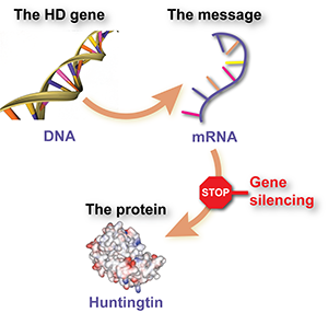 The goal of huntingtin lowering therapies is to stop the HD mutation - found in the HD gene - from being used by cells to make the huntingtin protein