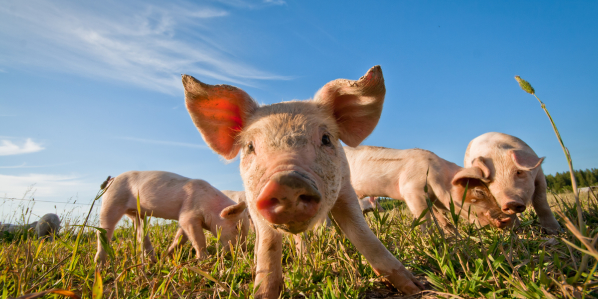 First Dolly, now Piglet; a new Huntington's disease pig knock-in model confirmed