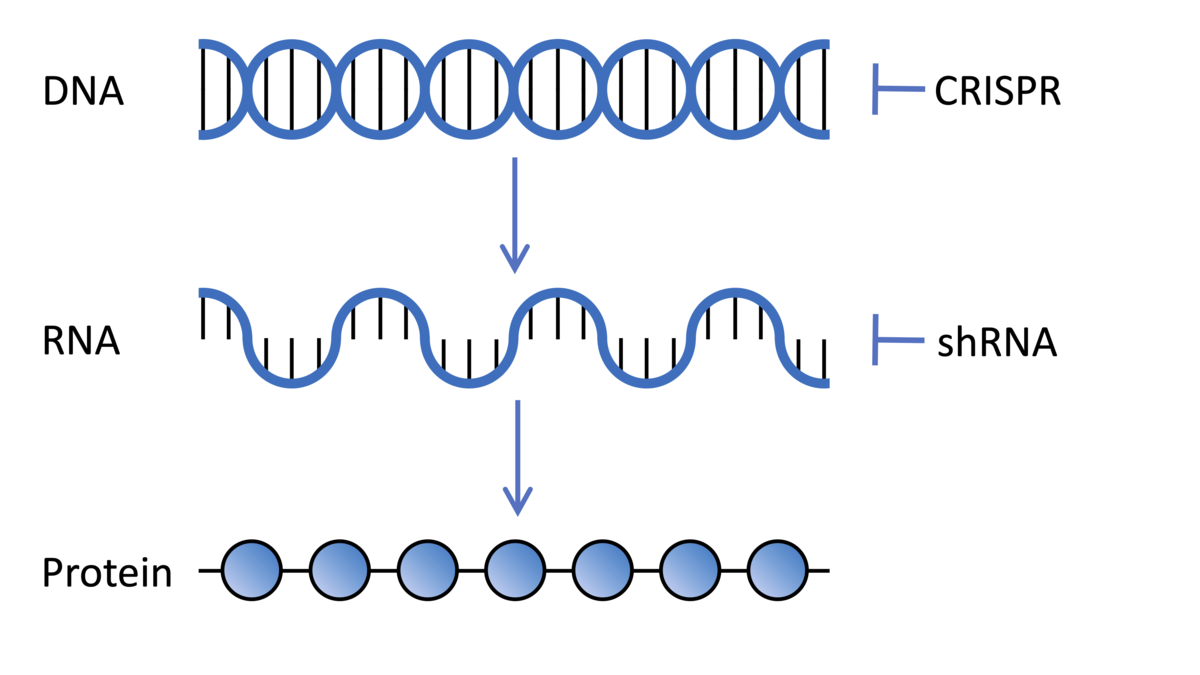 DNA encodes genes which are transcribed into RNA which is translated in protein, the molecules which do stuff in our cells. CRISPR and shRNA technologies used in genetic screens can change the expression of genes at the DNA and RNA level respectively.