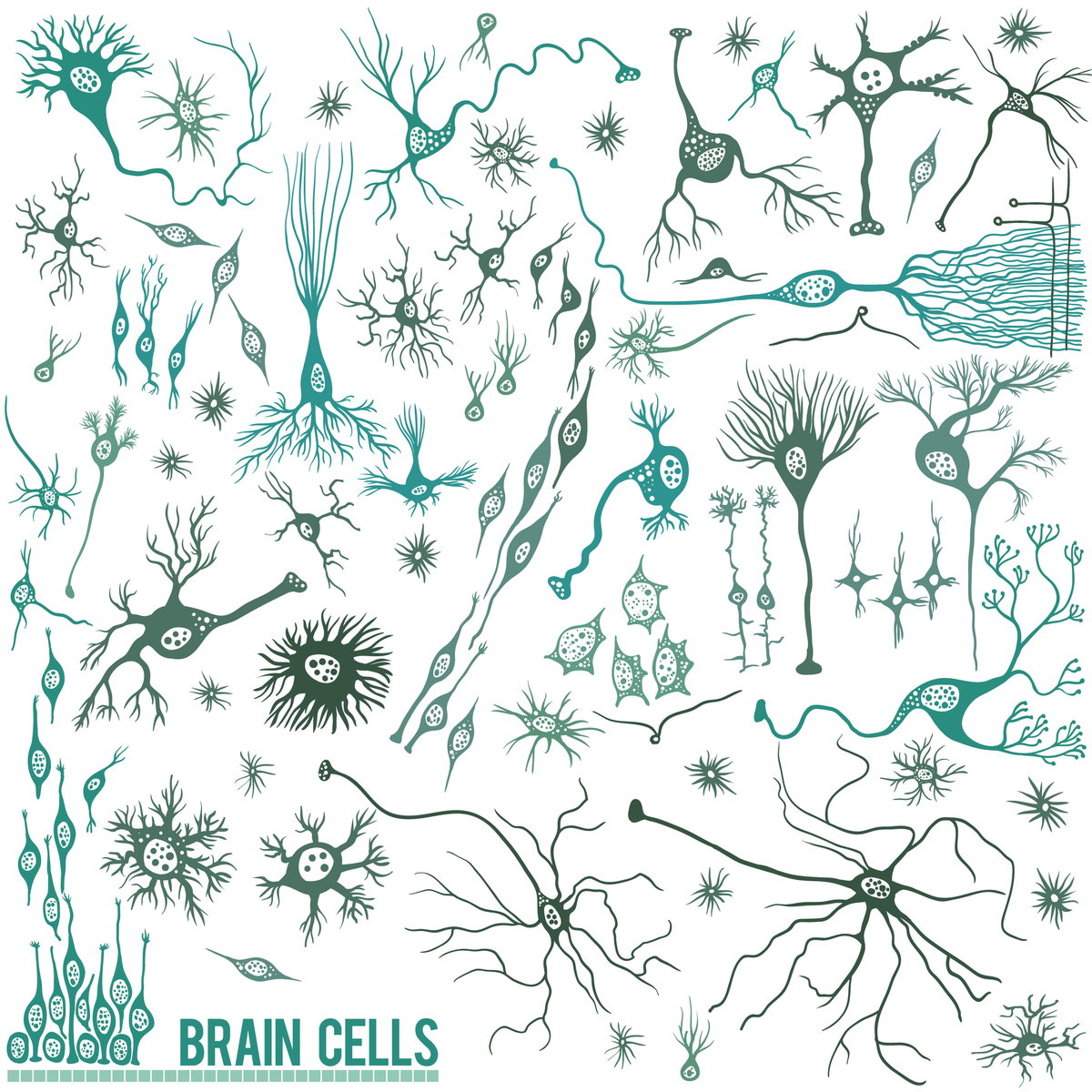 Brain cells: There are lots of different cell types in the brain; neurons are just one. But neurons happen to be a particularly vulnerable cell type in HD.