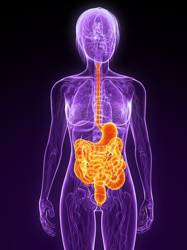 The digestive system, seen here in orange, may be directly effected in HD, leading to body weight loss.