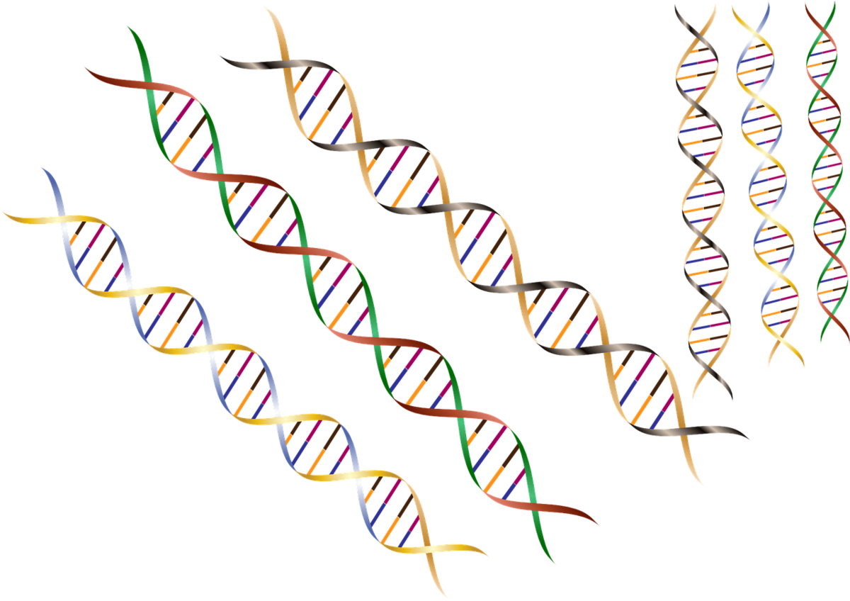 Genetic modifiers are small variations in the DNA code which can be drivers of earlier symptoms in people with Huntington's disease