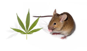 Two chemicals found in cannabis were tested together in mice that had been 'poisoned' to show some features of HD.